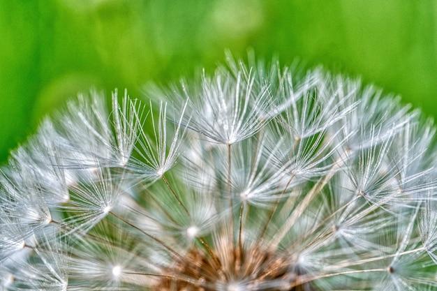 Closeup tiro de sementes de dente de leão