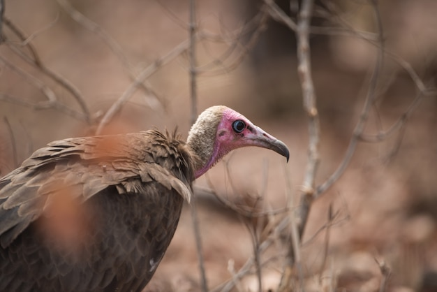 Closeup tiro de um abutre careca