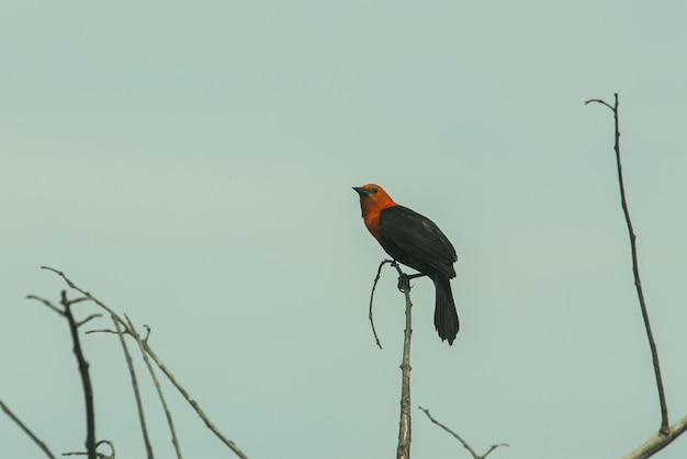 Closeup tiro de um belo melro de asas vermelhas, sentado em uma vara de madeira