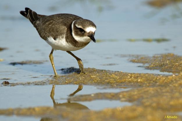 Closeup tiro de um belo pássaro dunlin água potável no lago