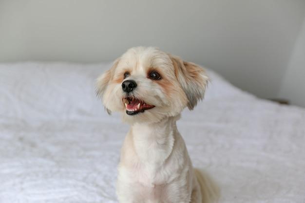 Closeup tiro de um cachorrinho branco fofo sentado na cama