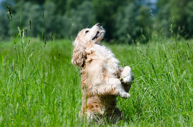 Closeup tiro de um cachorro cocker spaniel de pé sobre as duas patas no campo verde