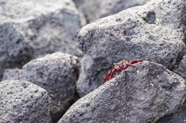 Closeup tiro de um caranguejo vermelho em uma formação rochosa nas ilhas galápagos, equador