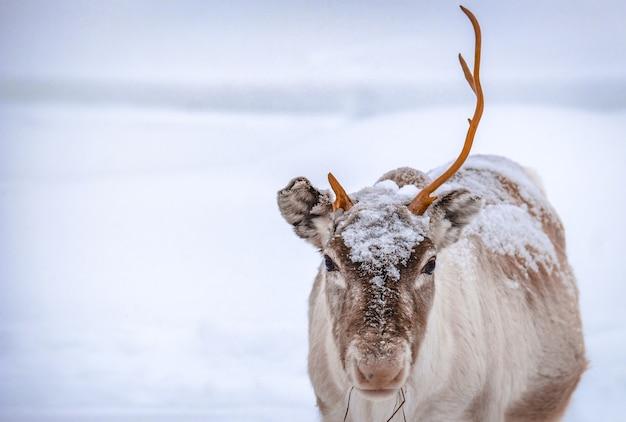 Closeup tiro de um cervo com um chifre em um terreno coberto de neve na floresta no inverno