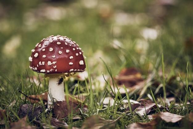 Closeup tiro de um cogumelo vermelho com pontos brancos em um campo gramado
