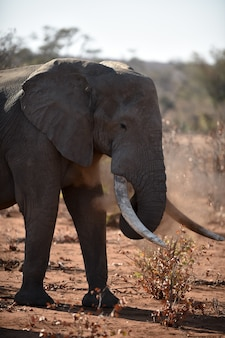 Closeup tiro de um elefante africano brincando com poeira