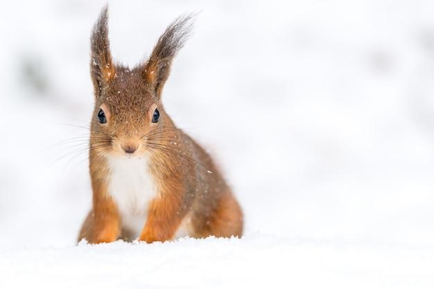 Closeup tiro de um esquilo fofo no chão coberto de neve com um fundo desfocado