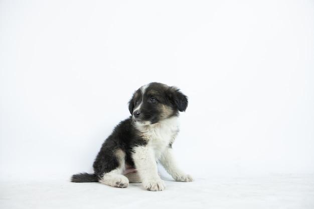 Closeup tiro de um filhote de cachorro preto e branco bonito