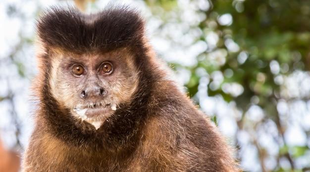 Closeup tiro de um fofo macaco-prego