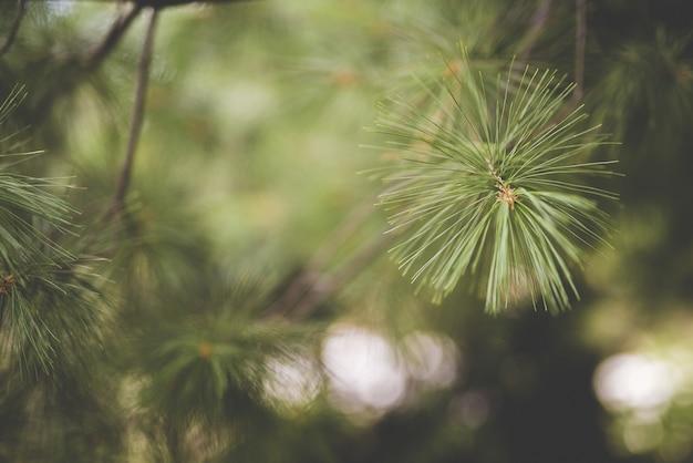 Closeup tiro de um galho de árvore de pinho com um fundo desfocado