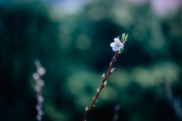 Closeup tiro de um galho de árvore florido com flores brancas