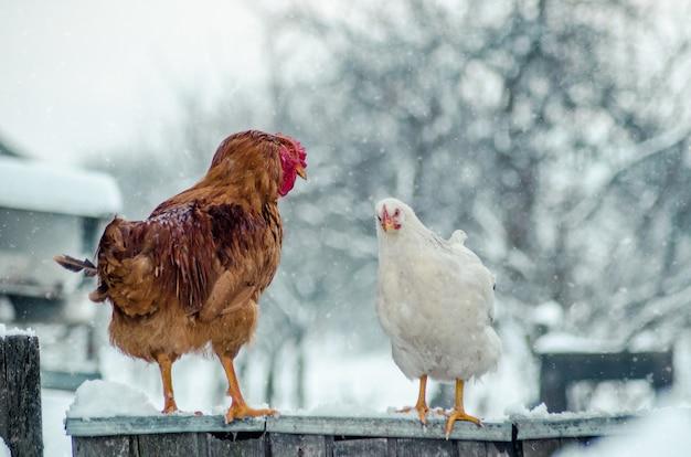 Closeup tiro de um galo e uma galinha em uma superfície de madeira com o floco de neve no fundo desfocado