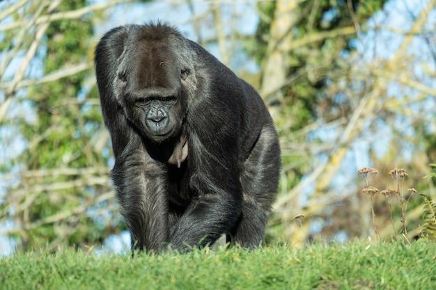 Closeup tiro de um gorila caminhando na grama da montanha