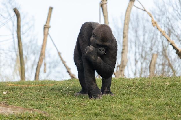 Closeup tiro de um gorila colocando grama na boca em um zoológico