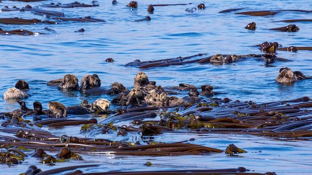 Closeup tiro de um grupo de lontra-marinha nadando no oceano azul brilhante puro