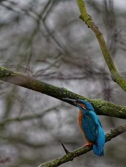 Closeup tiro de um guarda-rios comum