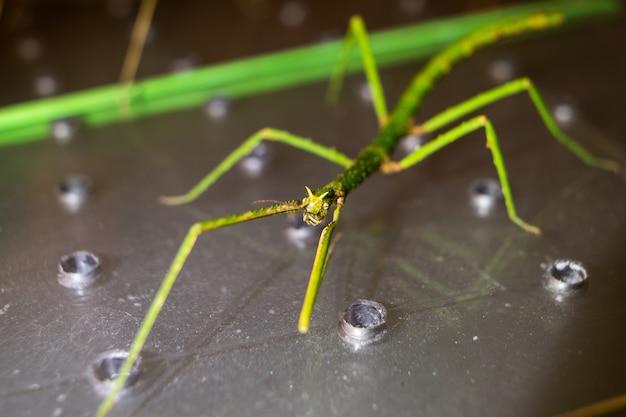 Closeup tiro de um inseto bengala verde em uma superfície de metal