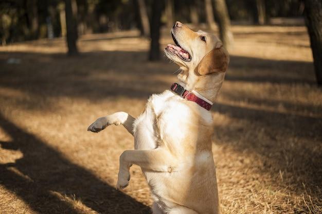 Closeup tiro de um labrador alegre de pé sobre dois pés em um campo sob a luz do sol durante o dia
