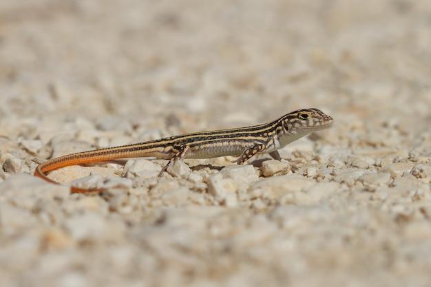 Closeup tiro de um lagarto acanthodactylus erythrurus na espanha