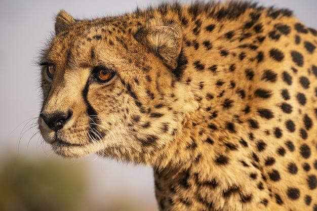 Closeup tiro de um leopardo na áfrica do sul