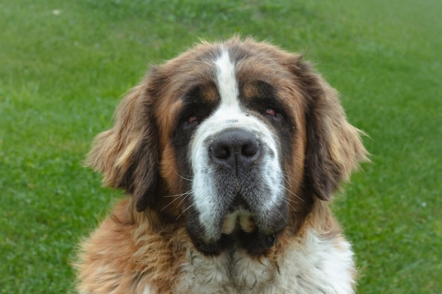 Closeup tiro de um lindo cão são bernardo em um campo verde durante o dia