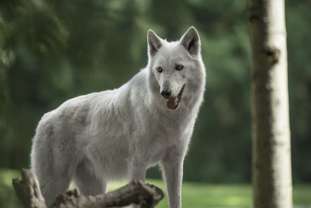 Closeup tiro de um lindo lobo-tundra do alasca com uma floresta borrada ao fundo