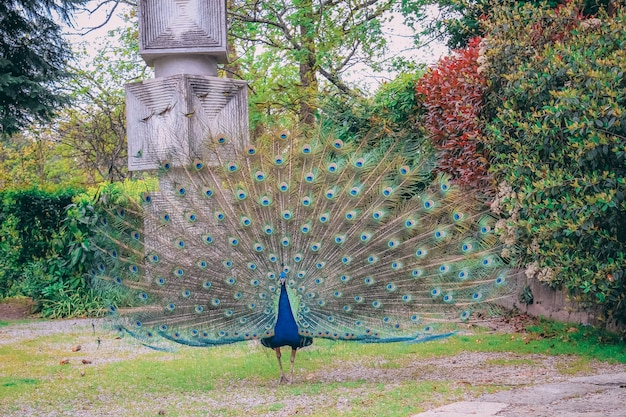 Closeup tiro de um lindo pavão no parque durante o dia