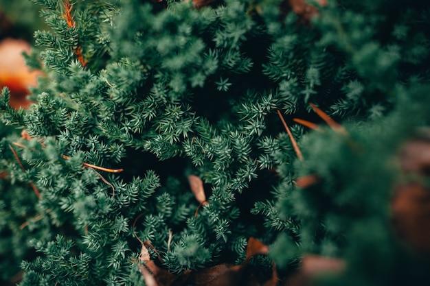 Closeup tiro de um lindo pinheiro verde em uma floresta