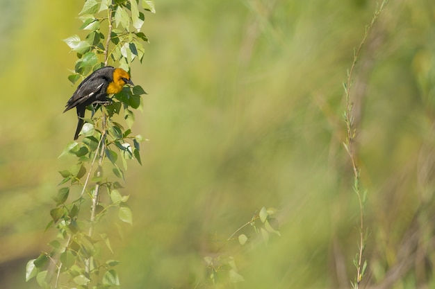 Closeup tiro de um melro de cabeça amarela em um galho