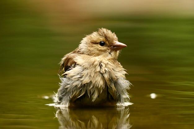 Closeup tiro de um pardal fofo em um lago com as penas molhadas em um fundo desfocado