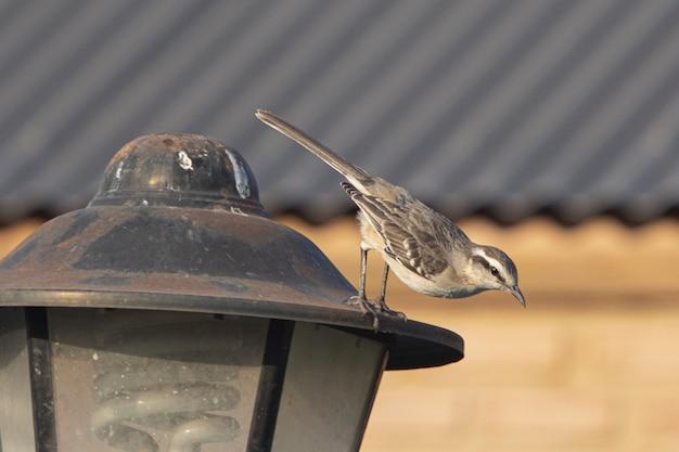 Closeup tiro de um pardal sentado em uma lâmpada de rua