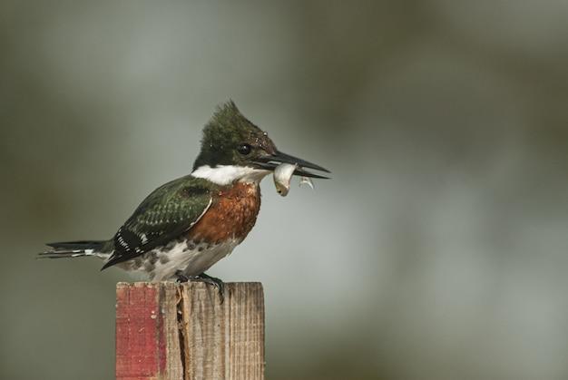 Closeup tiro de um pássaro kingfisher com cinto sentado em um pedaço de madeira com turva
