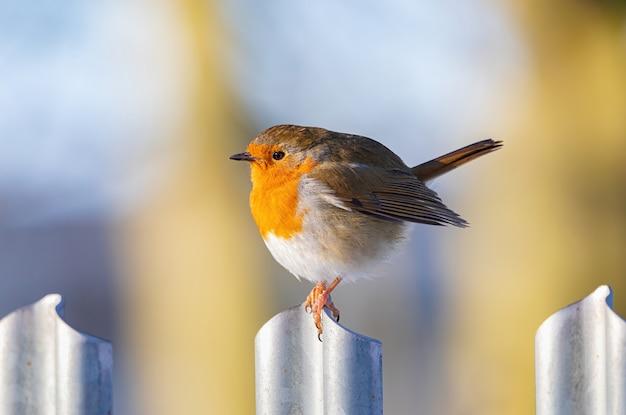 Closeup tiro de um pássaro robin europeu em um portão