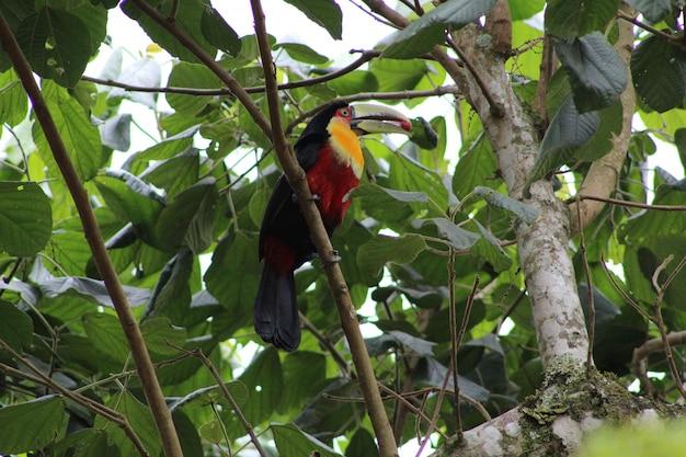 Closeup tiro de um pássaro tucano bonito colorido empoleirado em um galho de uma árvore, comendo uma baga vermelha