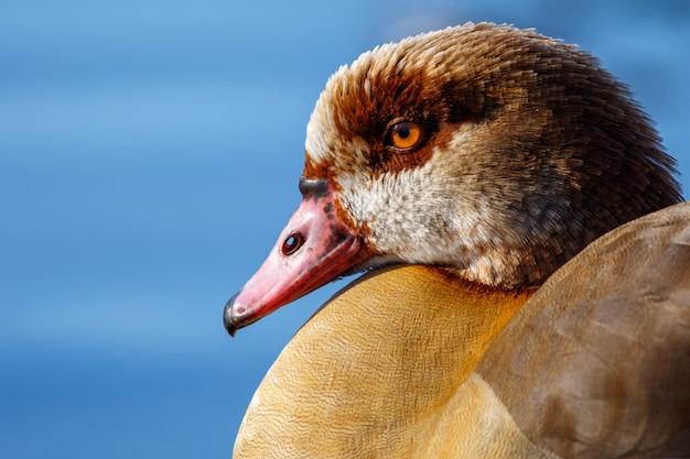 Closeup tiro de um pato-real