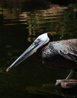 Closeup tiro de um pelicano selvagem sentado em uma prancha de madeira e água potável do lago