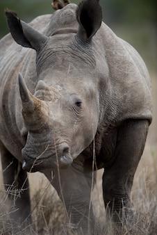 Closeup tiro de um rinoceronte africano