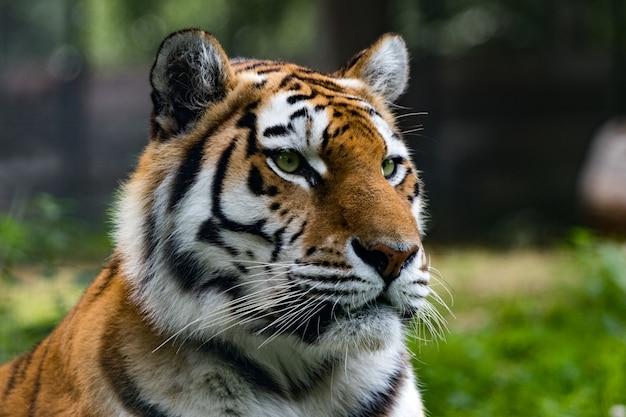 Closeup tiro de um tigre siberiano na selva