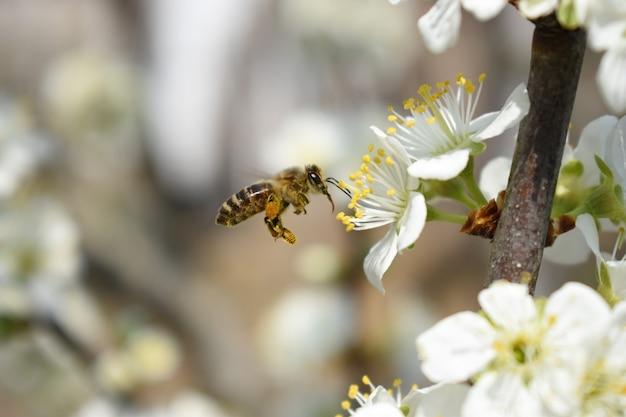 Closeup tiro de uma abelha em lindas flores de cerejeira