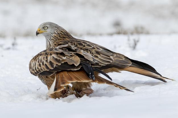 Closeup tiro de uma águia dourada na neve com um fundo desfocado