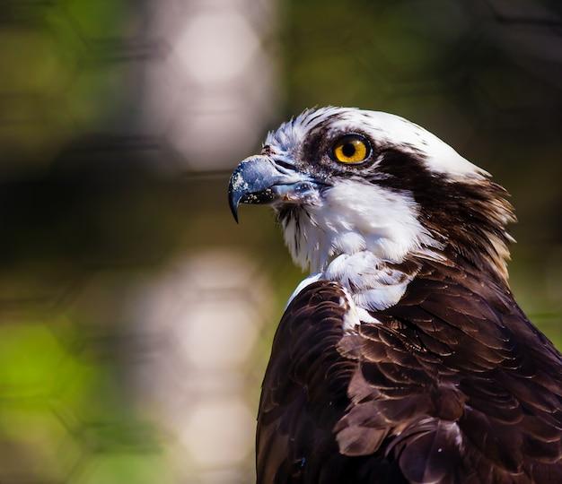 Closeup tiro de uma águia-pescadora preta e branca