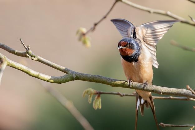 Closeup tiro de uma andorinha de celeiro sentada em um galho de árvore batendo as asas