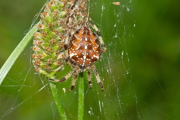 Closeup tiro de uma aranha de jardim europeia Foto Premium