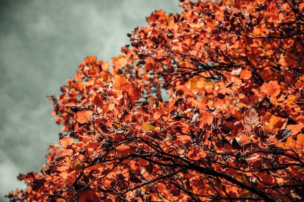 Closeup tiro de uma árvore com folhas de laranja e um céu nublado turva no fundo