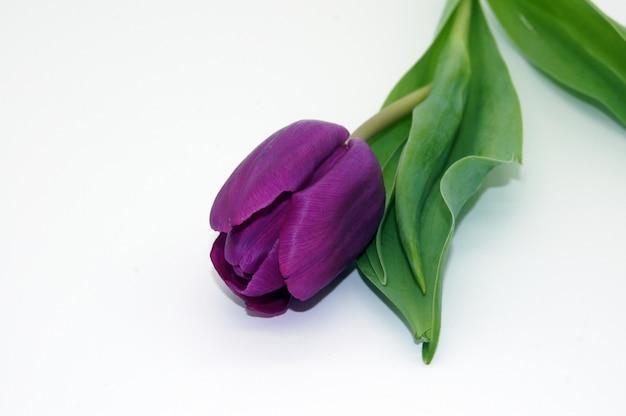 Closeup tiro de uma bela flor de tulipa violeta com um espaço de cópia