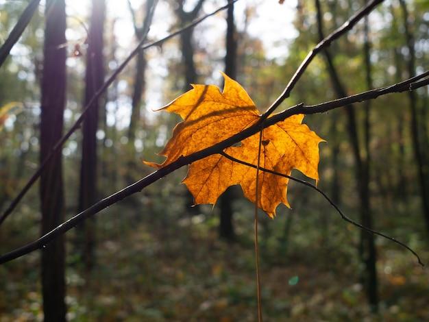 Closeup tiro de uma folha de bordo amarela seca em um galho de árvore em uma floresta