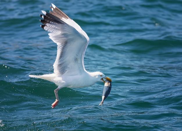 Closeup tiro de uma gaivota voando com peixes durante o dia