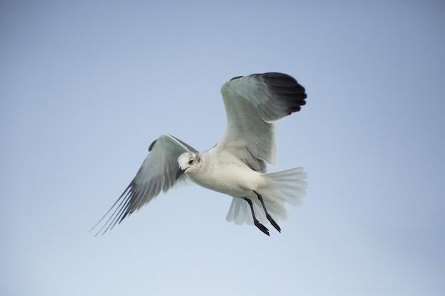 Closeup tiro de uma gaivota voando em um fundo de céu claro