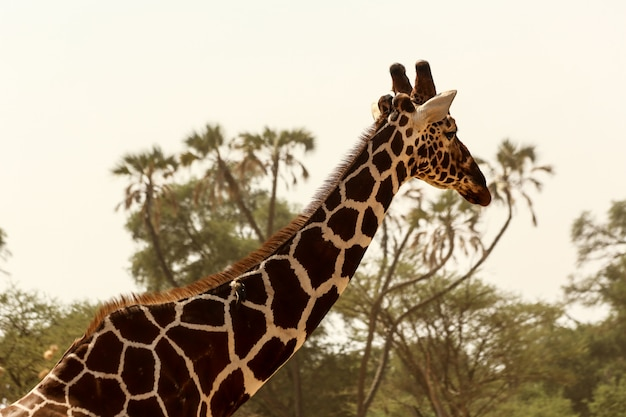 Closeup tiro de uma girafa bonitinha com árvores verdes ao fundo sob o céu claro