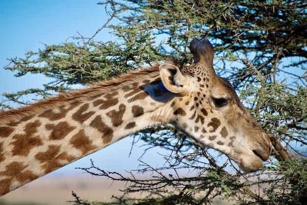 Closeup tiro de uma girafa fofa com árvores de folhas verdes